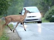 Policija upozorava - Vozači oprez, divljač na cesti i 28 sudara vozila sa divljači samo u rujnu