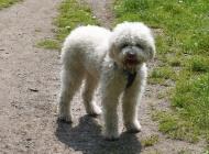 Ukrao cijenjenog psa, izvadio mu mikročip i registrirao kao svog